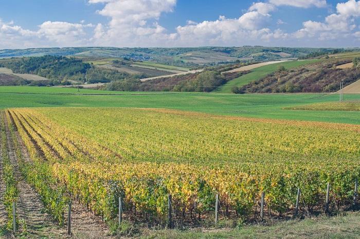 vineyards near Chablis
