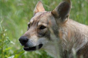 Journées du loup @ La Pyramide du Loup