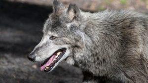 Les journées du Loup 2020 @ La Pyramide du Loup